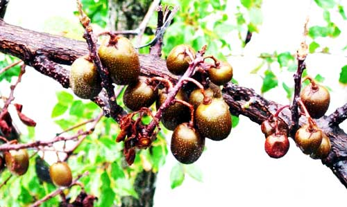 こっこう 山口県の伝統野菜・果樹