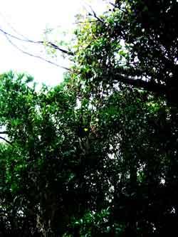 萩にんにく(萩在来系)萩大島 山口県の伝統野菜・果樹